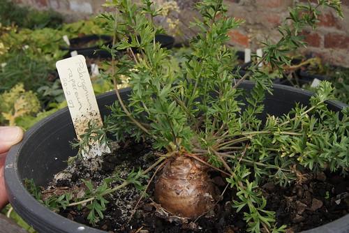 Pelagonium rapaceum