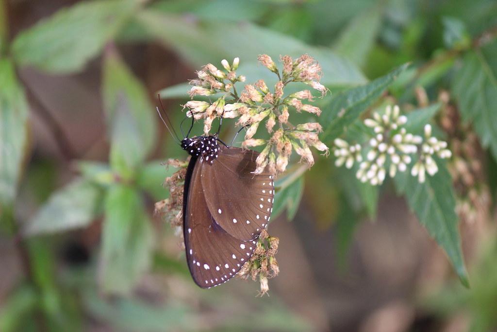 吸花蜜的紫斑蝶。(攝影:廖靜蕙)