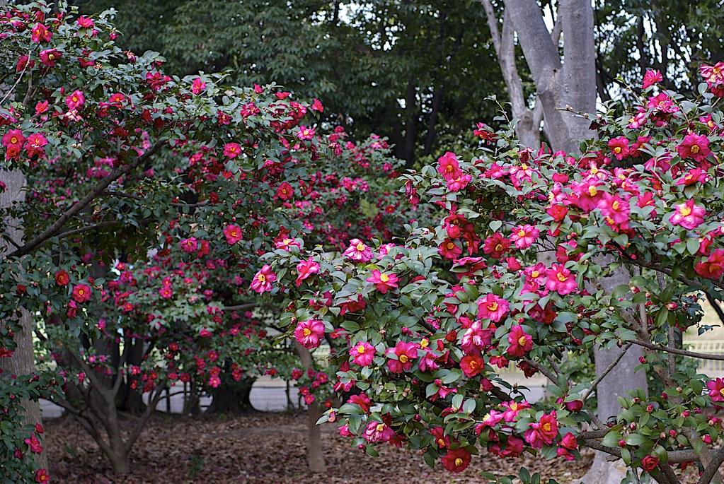 Camellia x hiemalis 39 kanjiro 39 minolta af 50mm f1 4 - Camelia fotos ...