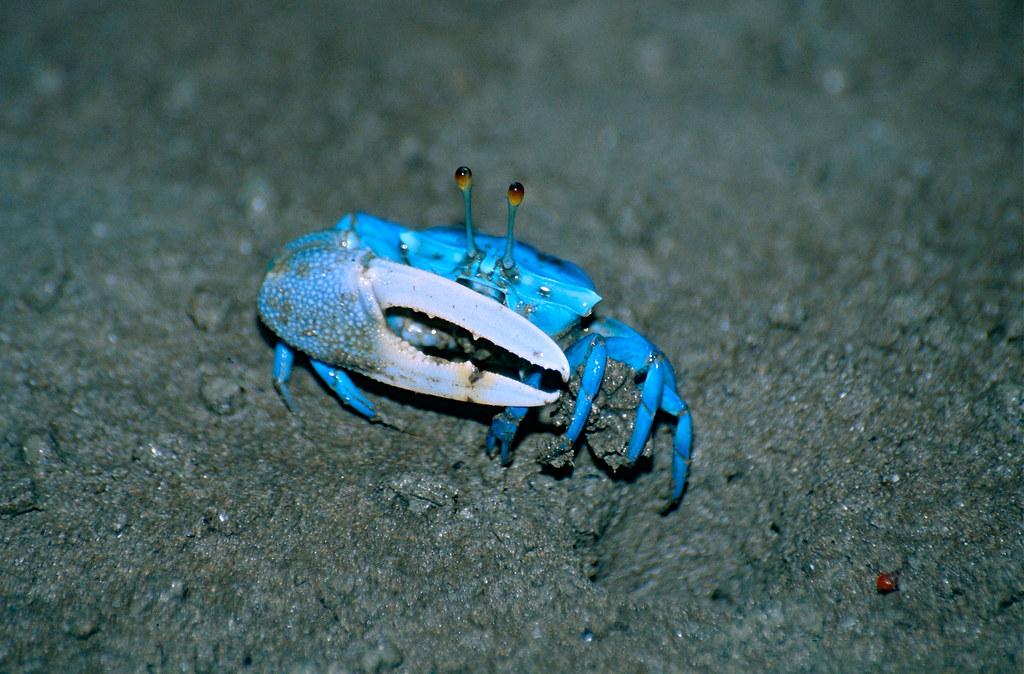 Blue Fiddler Crab Uca Tetragonon Male Bako Np Sarawak