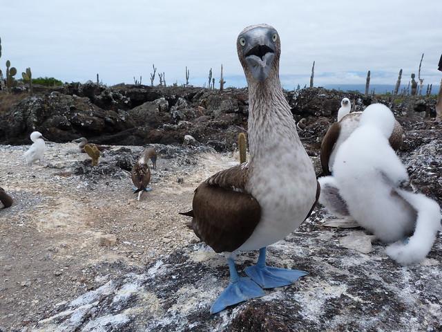 Colonia de piqueros de patas azules en islas Galápagos