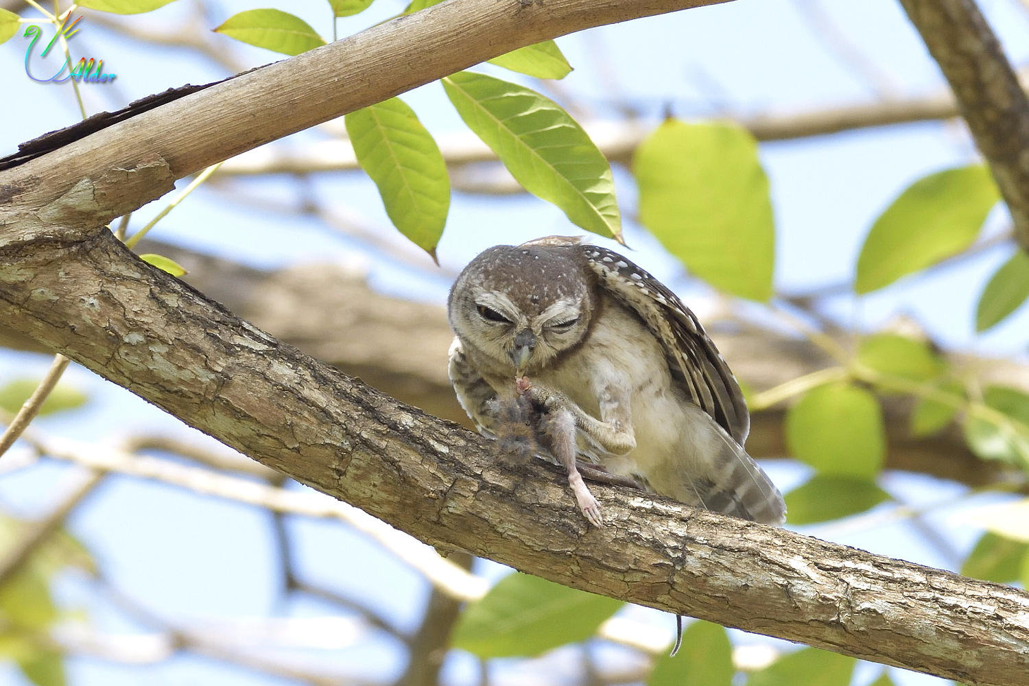 Spotted_Owlet_4625