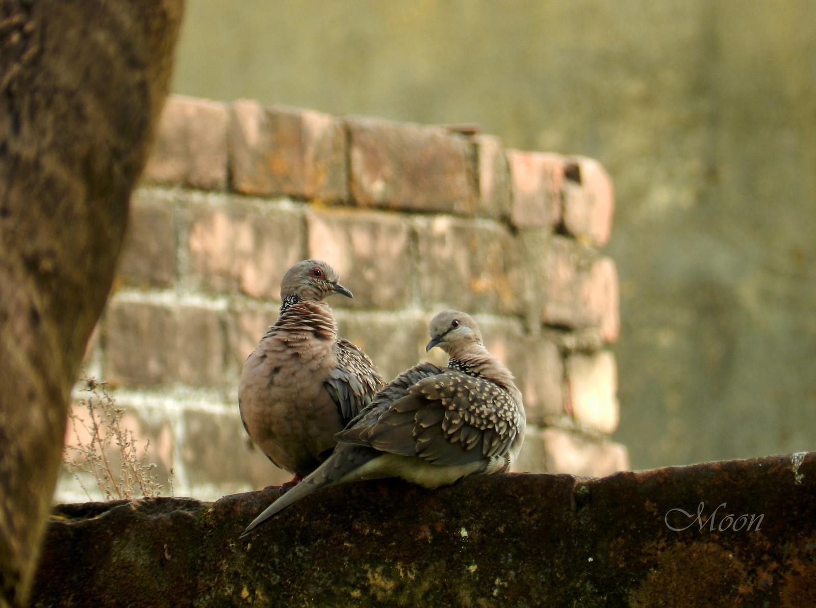 doves, pigeons, birds