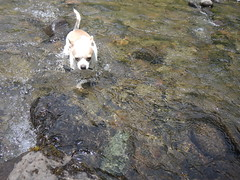 Beaker determined to cross the creek