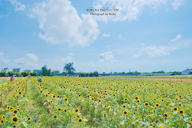2016.Jun sunflower @Taoyuan桃園向日葵