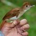 Ferruginous Babbler (Trichastoma bicolor)