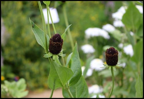 Rudbeckia occidentalis 'Black Beauty'