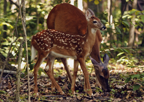 Photo of doe and fawn in forest