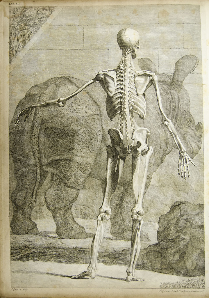 Anatomical plate of human skeleton (and rhinoceros) | Flickr