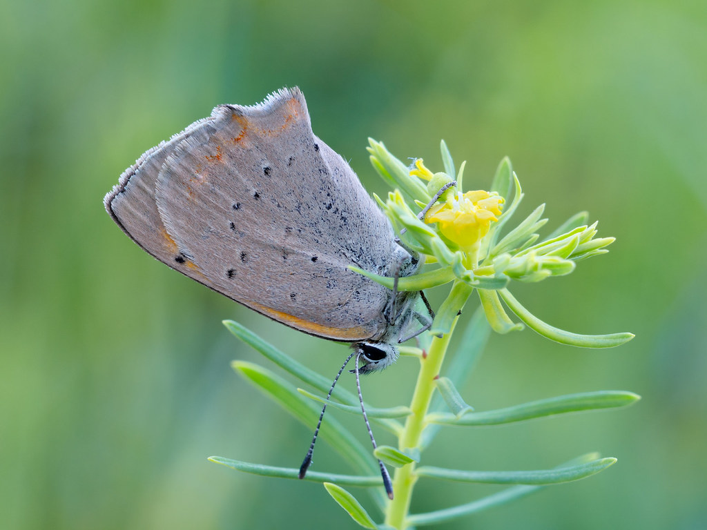 Czerwończyk żarek (Lycaena phlaeas syn. Lycaena phlaeoides)