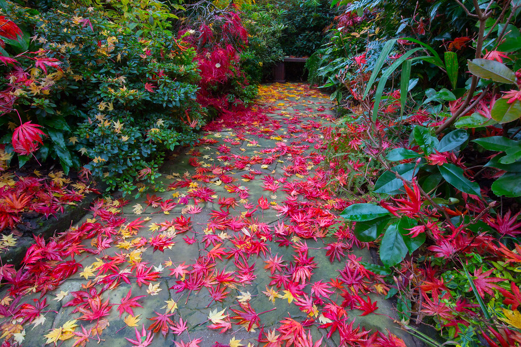 Fallen autumn leaves acer palmatum 39 trompenburg 39 the for Gardening 4 all seasons