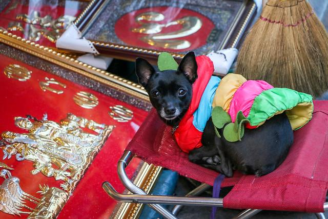 Cute eyes black dog in old city, Hanoi, Vietnam ハノイ旧市街、温かいジャケット姿の犬