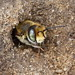 Who is pokeing out of its burrow ? A Silvery Leaf-Cutter Bee