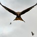 Red Kite - Gigrin Farm Wales