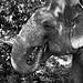 Thaïlande - Krabi - Éléphant d'Asie