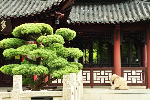 Luisenpark Mannheim, im Mai 2016. Rund um das chinesische Teehaus habe ich ein paar Fotos gemacht. Nanu, den putzigen kleinen Elefanten kenne ich ja noch gar nicht. Ist der neu hier - oder war ich vorher blind? - Die Strauch-Pfingstrosen (Paeonien), seit über tausend Jahren eine beliebte Zierpflanze in der chinesischen Gartenkunst sind auf dem Höhepunkt ihrer Blüte, ja bereits langsam im Vergehen begriffen. Pfingsten ist vorüber; etwas Neues wird im China-Garten nachkommen. - Und die dicken Karpfen schwimmen wie immer neugierig an die Besucher heran und erwarten ein Leckerli. Aber Füttern ist natürlich untersagt. Fotos: Brigitte Stolle
