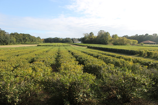 Visit to the Charleston Tea Plantation (Wadmalaw Island ...
