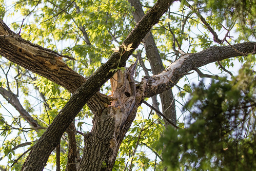 Red-bellied Woodpecker nest tree damage after storm