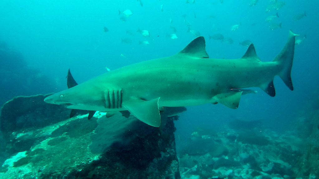 Grey Nurse Shark At South Solitary Carcharias Taurus
