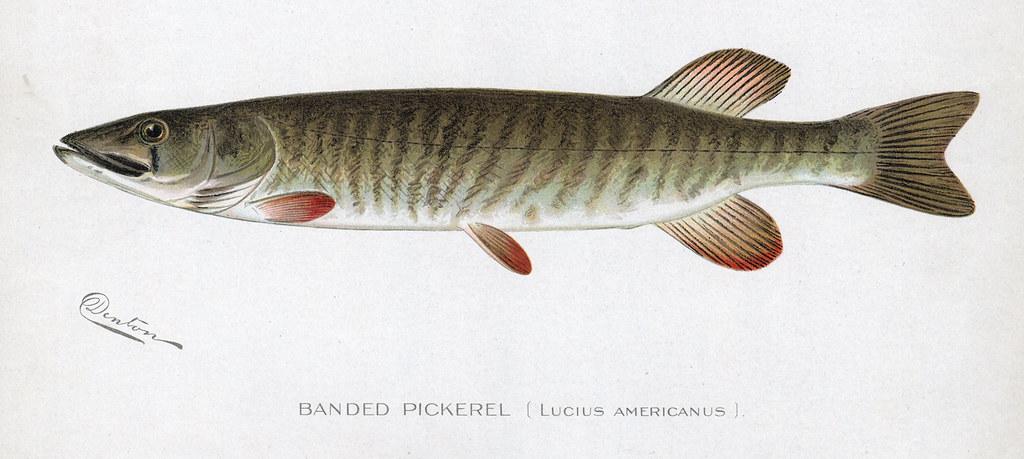 Bandedpickerel banded pickerel fish nys dec flickr for Nys dec fishing