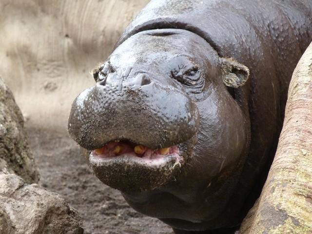 Hipopótamo pigmeo de Bioparc Valencia