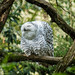 snow owl after yawning