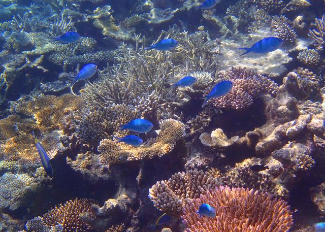 Peces de color azul bajo las aguas de Maldivas cuando hacíamos snorkel