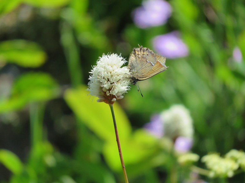 Hairstreak butterfly on bistort