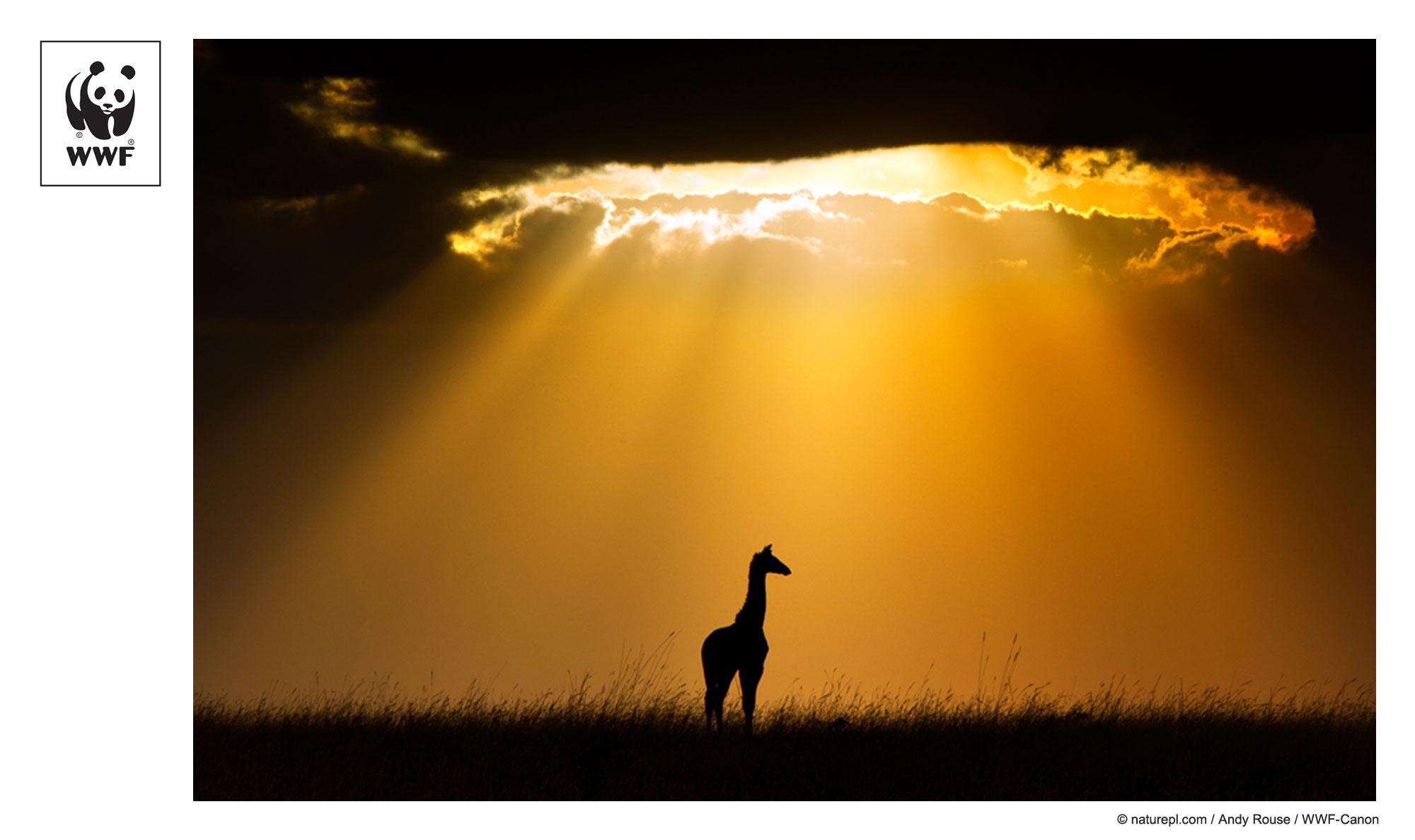 WWF-Canon Pic of the Week: Giraffe silhouetted by setting sun, Maasai Mara