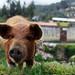 Oi Oi, Piggy in Peru