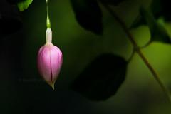 Fuchsias in August 1