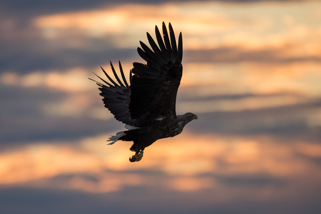 Silhouette White Tailed Sea Eagle Norway Blessed Again