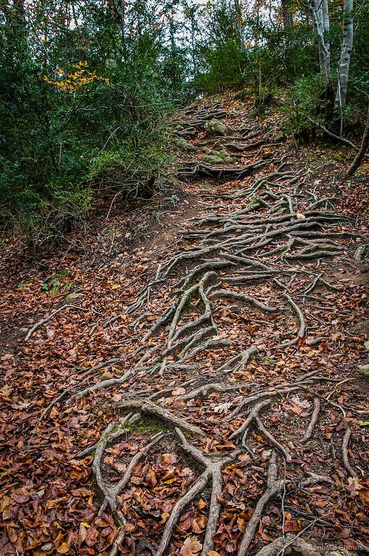 Escalera de raíces