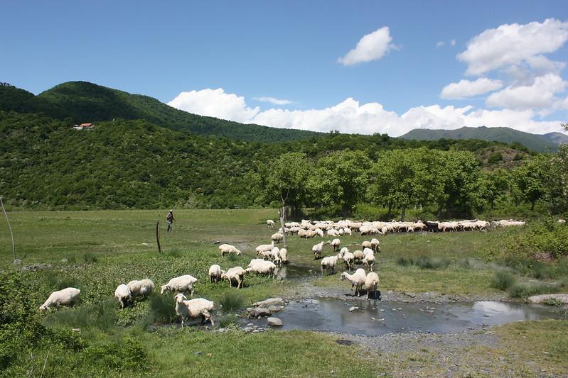 Кахети, овцы