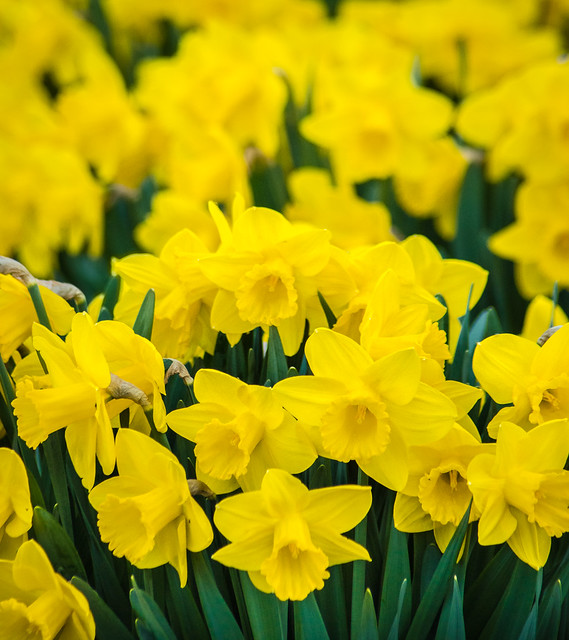 Daffodil, Daffodils, Flowers, Yellow, Spring, Garden, Narcissus