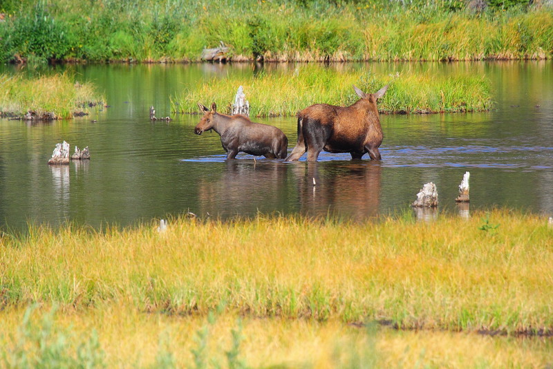 IMG_1974 Moose on Cobalt Lake Trail