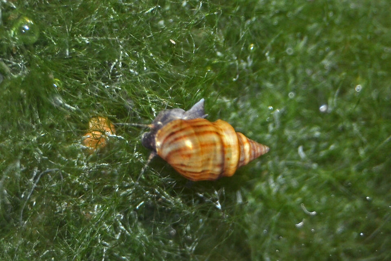 Identificación caracol: Melanopsis tricarinata 27473420571_7d11f12384_c