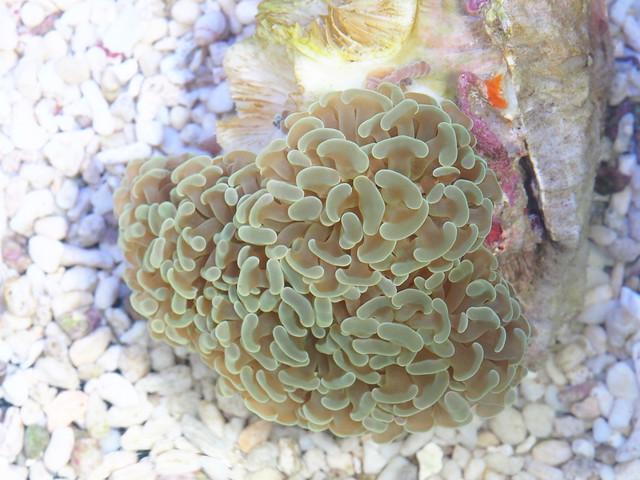 P6256075 榔頭珊瑚