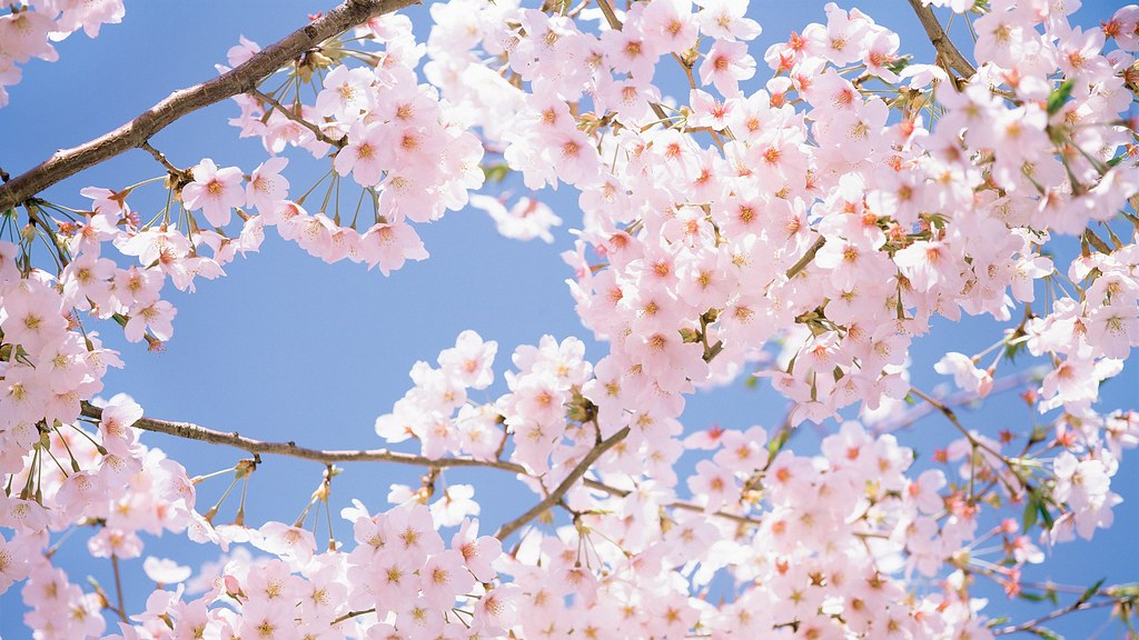 Image Result For Anime Cherry Blossom Wallpaper X