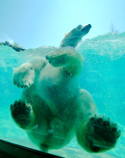 Polar Bear_87