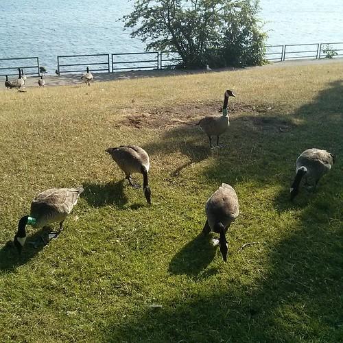 Canada geese feeding, 2 #toronto #lakeontario #marilynbellpark #birds #canadagoose