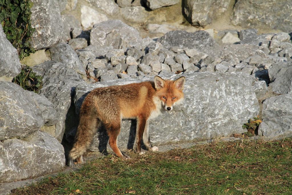 Fuchs Im Garten Asiacoolpics Flickr