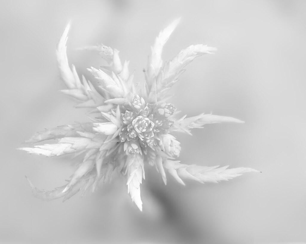 winter flower  carlos andrés reyes  flickr, Beautiful flower