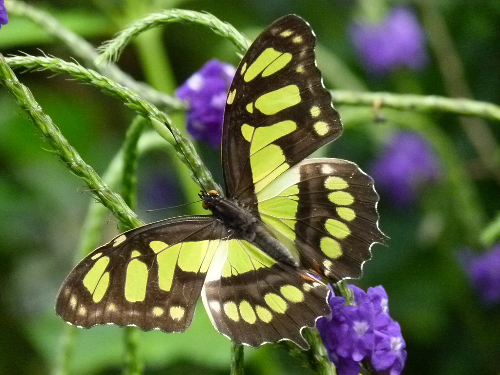 tailed jay niagara falls butterfly conservatory jim. Black Bedroom Furniture Sets. Home Design Ideas