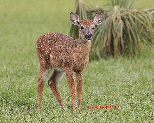 Baby White-tailed Deer | I have a little story to tell ... - photo#1