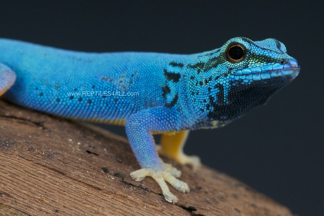 Electric blue day gecko / Lygodactylus - 105.5KB