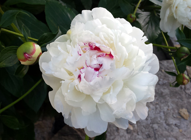a white bud and an open white flower with bright pink streaks in the center