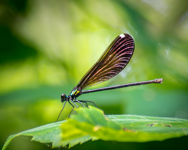 Damselfly, Nature, Green, Damsel Fly, Insect