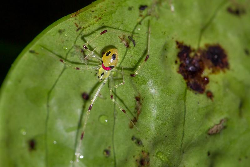 Улыбающийся паук (Theridion grallator), фото фотография изображение