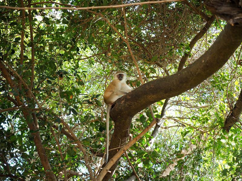 Monkey at Victoria Falls